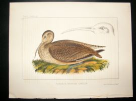 Japan Perry Expedition 1856 Antique Hand Col Bird Print. Bristle-thighed Curlew 3